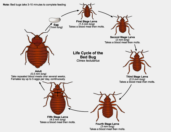 Life Stages of Bed Bugs
