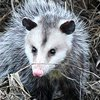 Opossums control in Monmouth County